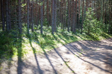 Sunlight shining through pine trees onto a forest path