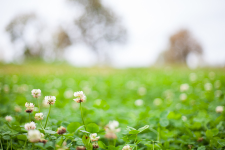 White clover flower (Trifolium repens) meadow with a sallow depth of field