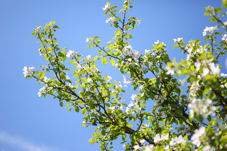 White apple tree blossoms on a sunny day with a blue sky backdrop