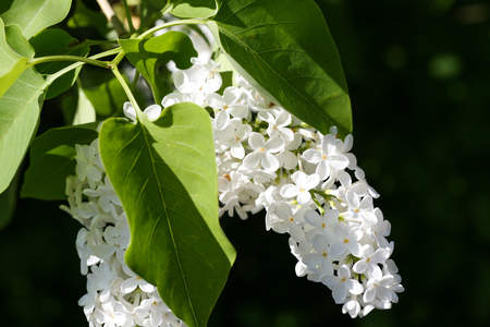 Isolated blooming white lilac blossoms on a branch