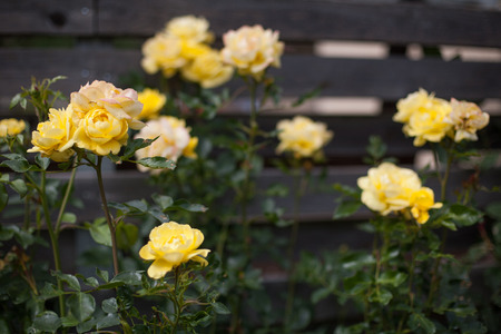 Yellow roses growing in the garden aside a wooden fence