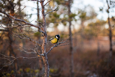 Closeup of the great tit (Parus major) sitting on a tree branch in a bog at sunset