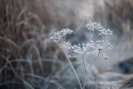 Abstract natural winter background of a plant covered in frost with neutral colors