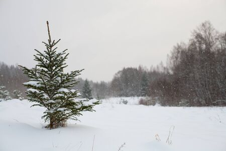 Winter landscape with a small evergreen spruce tree covered in snow and light snowfall Banco de Imagens