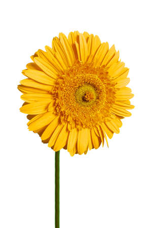 yellow gerbera Stock Photo - 3370045