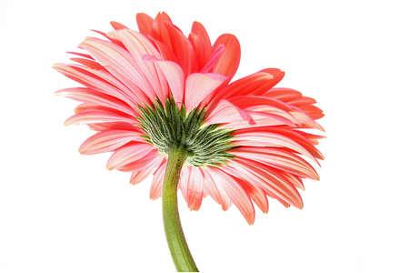 pink gerbera photo