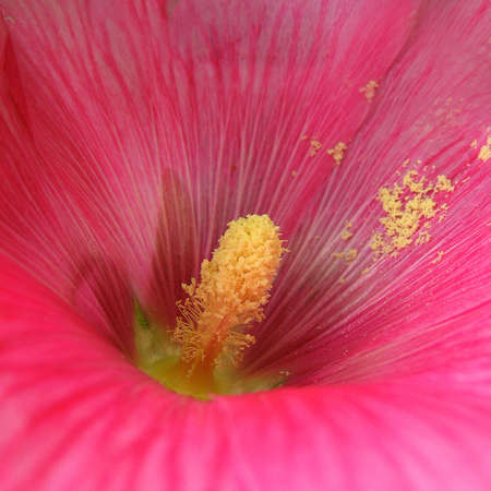 pink mallow Stock Photo - 3396881
