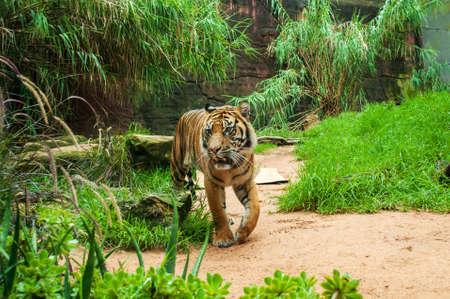 sumatran: Sumatran tiger.