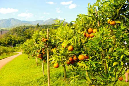 arboleda: Campos de naranjos y monta�as al fondo Foto de archivo