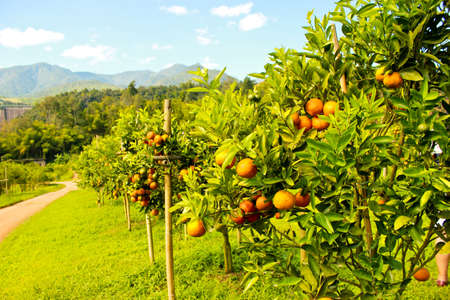 Orange groves and mountain backdrop photo