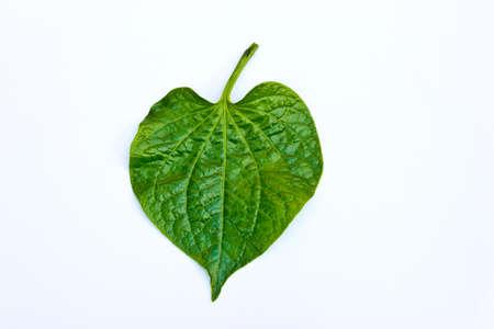 piperaceae: Wildbetal Leafbush