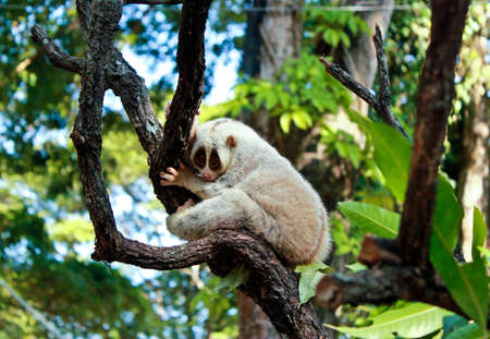 mai: White slow loris monkey on tree in Chiang Mai zoo,Thailand