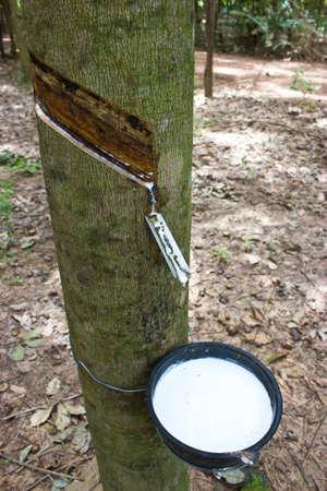 tapping: Toccando il lattice da un albero di gomma