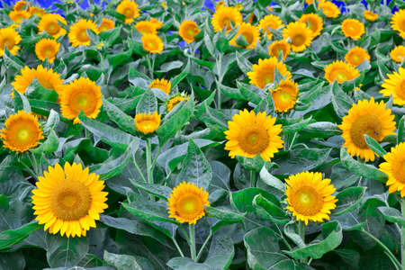 Beautiful sunflower field with lots of sunflowers Stock Photo - 22565896
