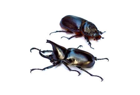 hexapod: Rhinoceros beetle  ,Thailand