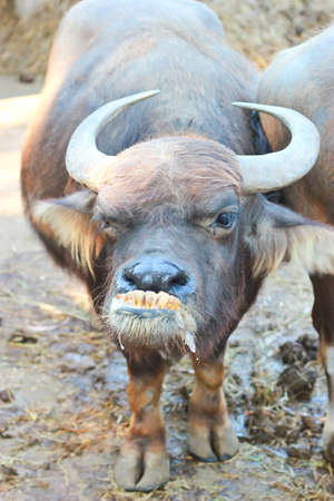 ridiculous: funny photo of water buffalo smile