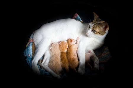 The mum-cat breast-feeding her little kittens photo