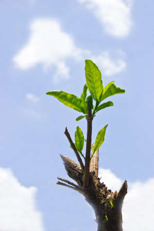 New development and business concept of emerging leadership success as an old cut down tree and a strong seedling growing