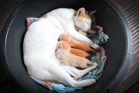 Cat nursing her kittens The cat feeds a kittens photo