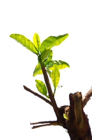 New development and business concept of emerging leadership success as an old cut down tree and a strong seedling growing photo