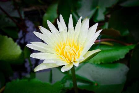 lilia: Loto blanco hermosa en el estanque