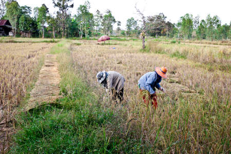 reaping: Farmer in Thailand reaping the rice together by a sickle Editorial