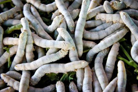 カイコ食桑緑葉 写真素材