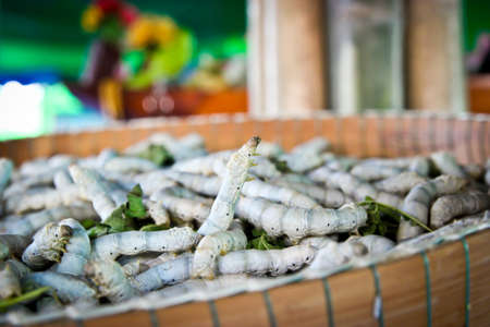 Silkworm eating mulberry green leaf photo