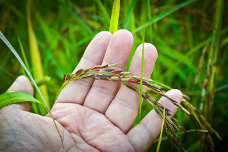 sticky hands: Ear of Riceberry in farmers hand.