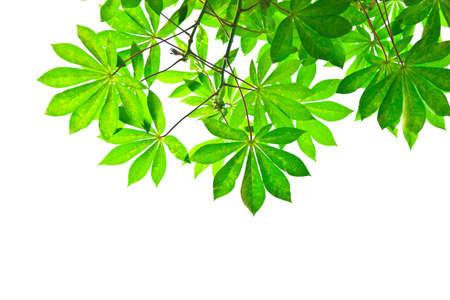 Tree leaf on white background.