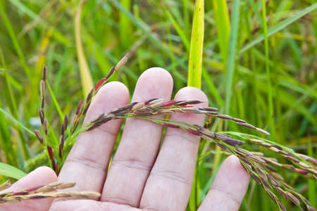 Ear of rice in farmers hand. (riceberry)