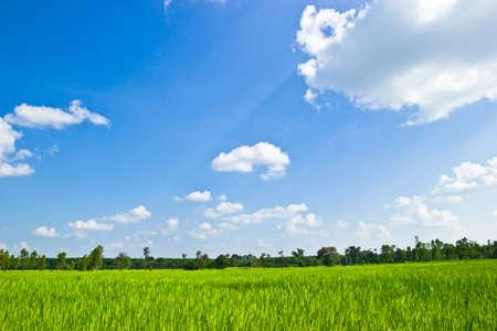 Rice field inThailand.