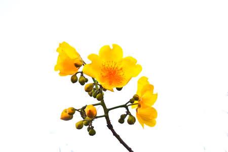 Yellow silk cotton tree flowers on white background.