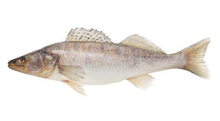 zander, fish raw, clipping path, isolated on white background, full depth of field