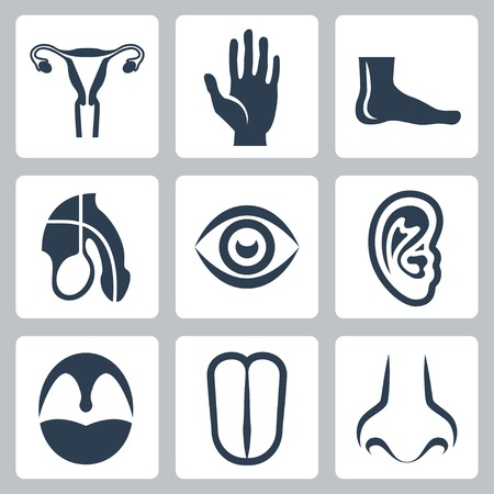 Vetor external organs and reproductive system icons set Vector