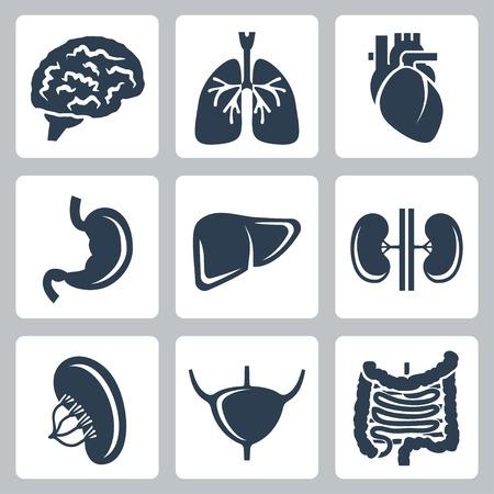 organos internos: Vector órganos internos iconos conjunto Vectores