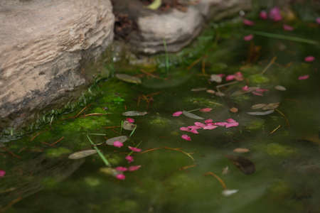 Drop flower petals floating on water beside two rocks.