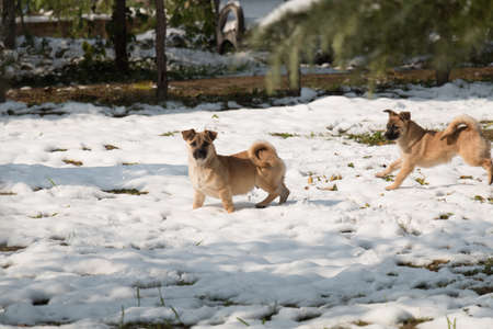Two little dogs playing on the snow in a sunny day.