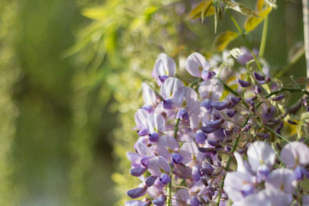 A bunch of Wisteria sinensis in purple with green willows as background.
