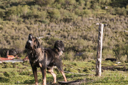 Tibetan Mastiff raise its neck and howl loudly to warn you.