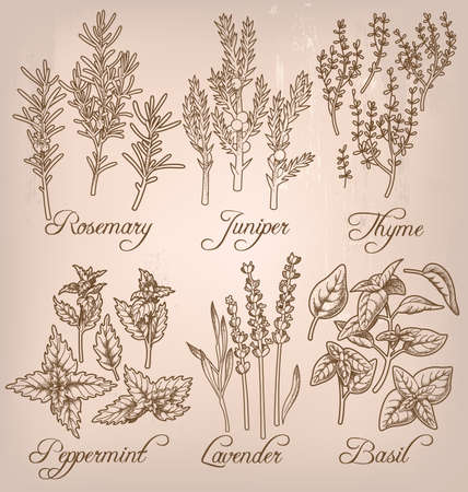 essential: Set of six essential herbs Illustration