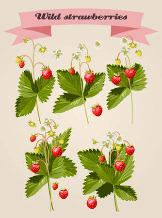 wild strawberry: Set of wild strawberries twigs and elements Illustration