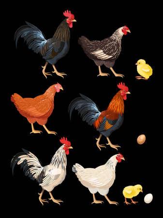 pollitos: Conjunto de colores detallados gallos, gallinas y pollos Vectores