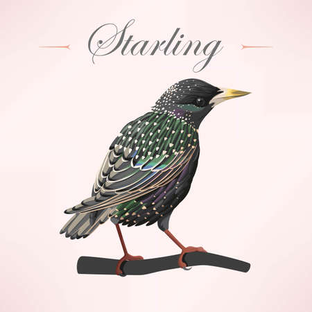 starling: Vector illustration of high detailed starling on the branch