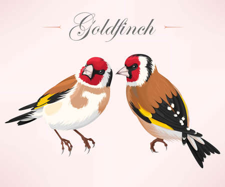 black feathered: Vector illustration of high detailed pair of goldfinches