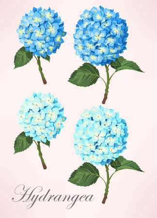 temperate: Small vector set of detailed hydrangea flowers
