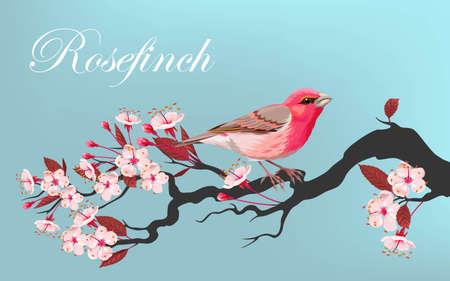 cherry branch: Vector illustration of pink bird on the cherry branch