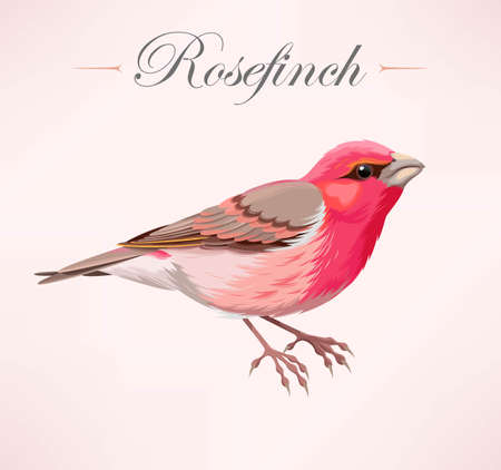 finch: Vecror illustration of high detailed rose finch
