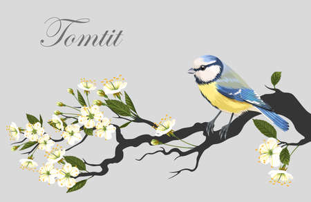 tomtit: Vector illustration of tomtit on the blooming cherry branch