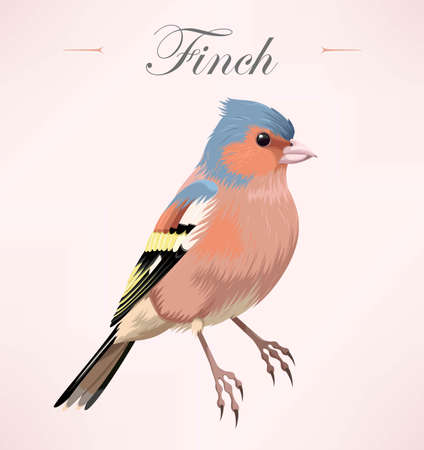 finch: Vector illustration of beautiful high detailed finch